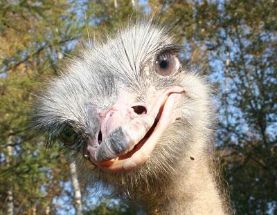 Россиянка пыталась незаконно вывезти из Крыма 48 страусят