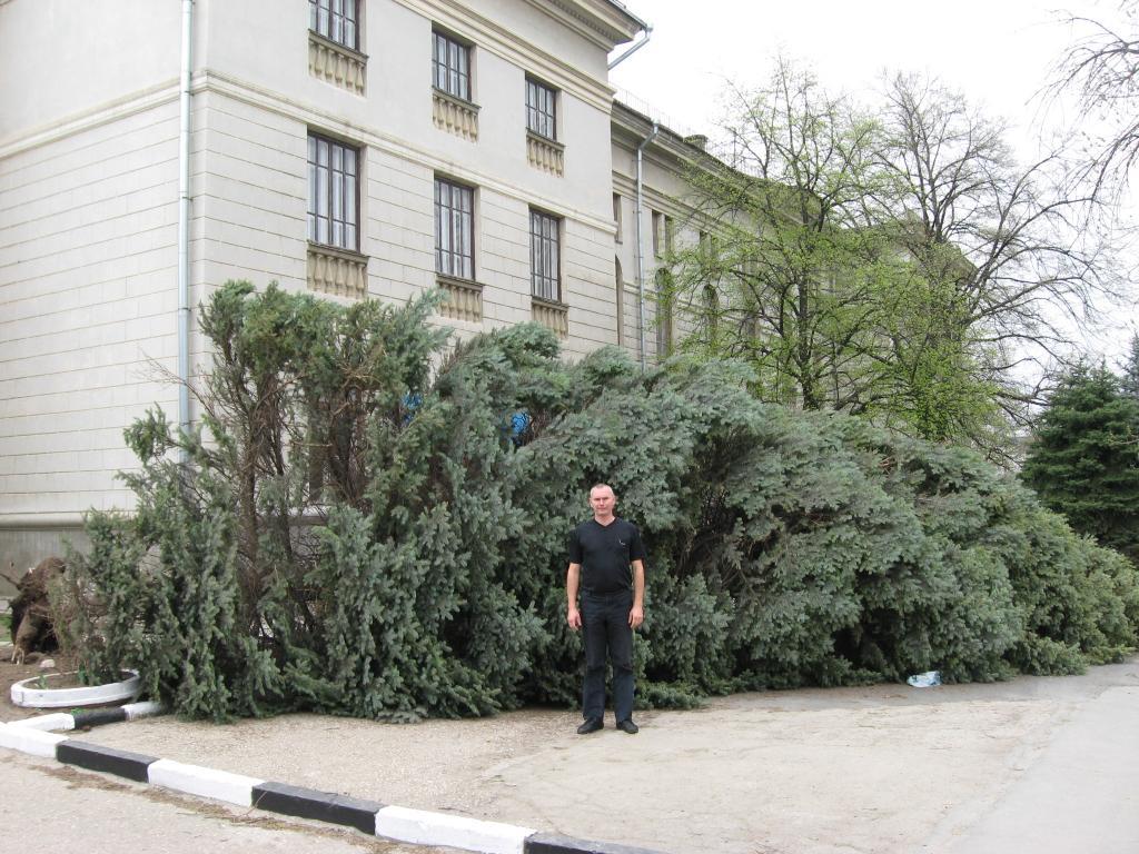 В Симферополе ураган повалил 22-метровую елку (фото)