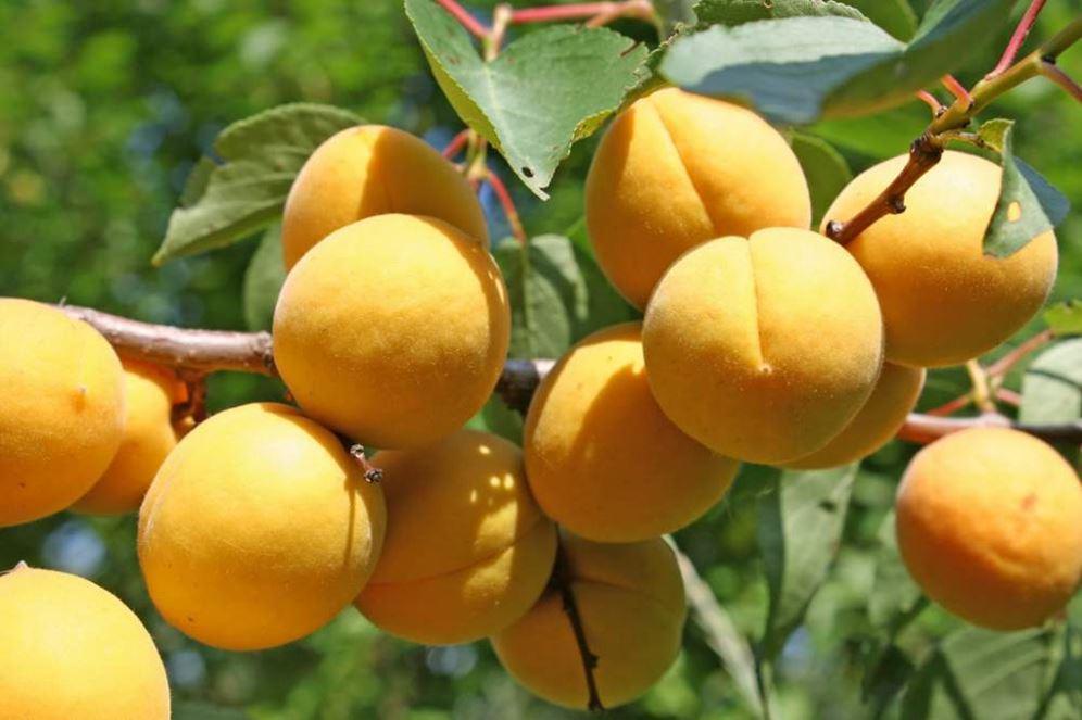 Какие фрукты особенно полезны для печени и почему?