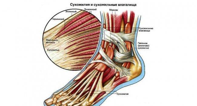 Сухожилие – это соединительнотканная часть мышцы, с помощью которой мышца прикрепляется к скелету. Чтобы человек мог выполнять то или иное движение, необходимо, чтобы костно-мышечная система хорошо работала. А поскольку сухожилия – связующее звено в этой системе, они должны получать необходимое питание, чтобы правильно обеспечивать работу мышц и костей.