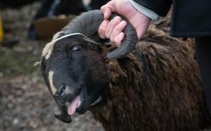 На рынке в Феодосии продавалось мясо ворованных баранов и овец