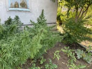 В Феодосии на дачном участке у крымчанина полиция нашла плантацию конопли